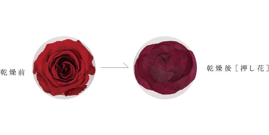 押し花乾燥変化赤バラ